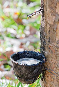 Naturlatex ist der Saft des tropischen Gummibaumes (Hevea Brasiliensis) und besteht aus Gummipartikeln und Wasser.