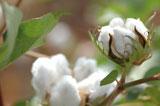 """Baumwollstoffe gelten als sehr hautfreundlich (sie """"kratzen"""" nicht) und haben ein äußerst geringes Allergiepotential."""