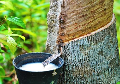 Latex – Ein Geschenk der Natur