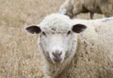 Reine Schurwolle ist die Bezeichnung für die vom lebenden Schaf gewonnene und erstmals verarbeitete Wolle.